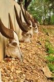 Crânes de vache Photo stock