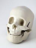 Crânio anatômico médico fotografia de stock royalty free