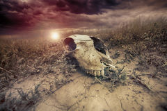 Crânio animal no deserto contra o fundo do por do sol toned Imagem de Stock Royalty Free