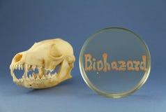 Crânio animal perto do prato de petri com inscrição bacteriana alaranjada do biohazard Imagem de Stock Royalty Free