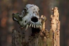 Crânio com formigas Foto de Stock Royalty Free