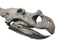 Crânio da cabeça do fóssil de dinossauro isolado. Fotografia de Stock Royalty Free