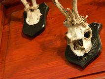 Crânio da cabra Imagem de Stock Royalty Free
