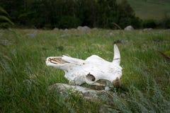 Crânio da vaca que encontra-se na terra do estepe imagens de stock royalty free