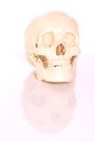 Crânio no fundo branco Fotografia de Stock