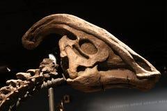 Crânio de Parasaurolophus Fotografia de Stock