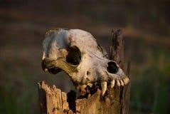 Crânio de um cão Imagens de Stock