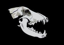 Crânio de um predador Foto de Stock