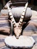 Crânio do íbex e imprensa de óleo Fotografia de Stock