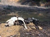 Crânio do animal no assoalho fotografia de stock