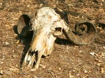 Crânio do búfalo Fotografia de Stock