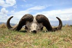 Crânio do búfalo de cabo fotografia de stock