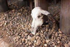 Crânio do búfalo na terra Fotografia de Stock