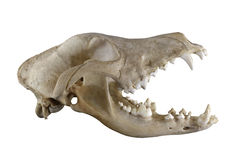 Crânio do cão do Doberman isolado em um fundo branco Imagens de Stock
