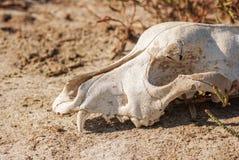 Crânio do cão na grama Fotos de Stock Royalty Free