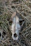 Crânio do cão na grama fotografia de stock royalty free
