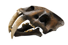 Crânio do gato do sabre-dente Fotografia de Stock Royalty Free
