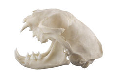 Crânio do gato isolado em um fundo branco Foto de Stock Royalty Free