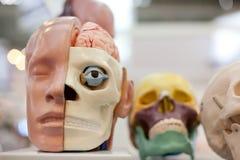 Crânio do manequim Fotografia de Stock Royalty Free