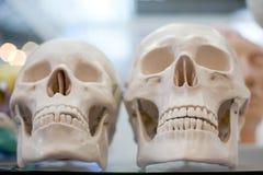 Crânio do manequim Imagem de Stock