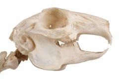 Crânio do roedor fotos de stock