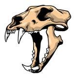 Crânio do tigre Imagens de Stock
