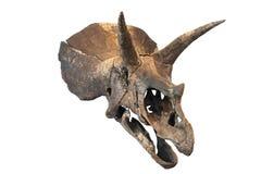 Crânio do Triceratops foto de stock royalty free