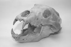Crânio do urso Fotos de Stock