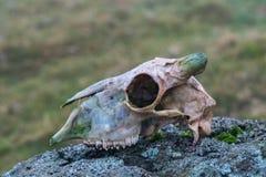 Crânio dos carneiros Foto de Stock