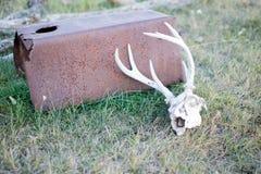 Crânio dos cervos encontrado em um pasto Imagem de Stock