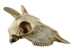 Crânio horned dos carneiros selvagens isolado em um fundo branco Imagens de Stock Royalty Free