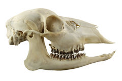 Crânio Hornless dos cervos de ovas em um fundo branco Fotos de Stock