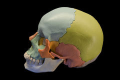 Crânio humano Fotos de Stock