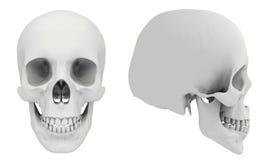 Crânio humano Fotografia de Stock