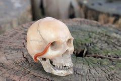 Crânio humano com o milípede na madeira velha na floresta, ainda estilo de vida Foto de Stock Royalty Free