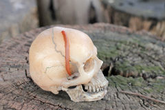 Crânio humano com o milípede na madeira velha na floresta, ainda estilo de vida Imagens de Stock Royalty Free