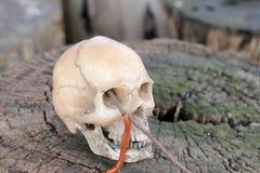 Crânio humano com o milípede na madeira velha na floresta, ainda estilo de vida Fotos de Stock