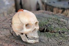 Crânio humano com o milípede na madeira velha na floresta, ainda estilo de vida Imagens de Stock