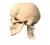 Crânio humano, vista lateral. Fotos de Stock Royalty Free