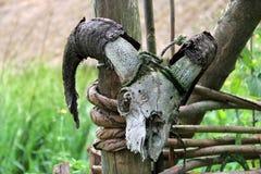 Crânio masculino da cabra Fotos de Stock Royalty Free