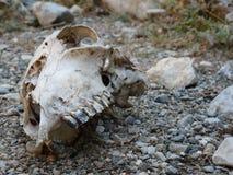 Crânio na terra Imagens de Stock