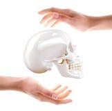 Crânio nas mãos Fotografia de Stock