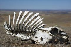 Crânio no deserto Fotografia de Stock