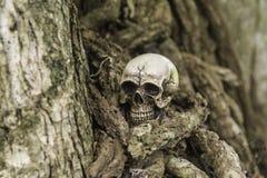 Crânio ou esqueleto da fotografia humana Fotografia de Stock Royalty Free