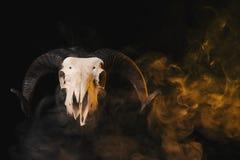 Crânio real da ram com os chifres no fundo fumarento amarelo Foto de Stock