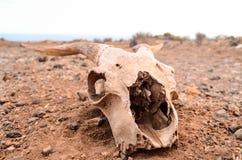 Crânio seco da cabra foto de stock royalty free