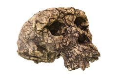 Crânio Toumai do tchadensis de Sahelanthropus Descoberto em 2001 no deserto de Djurab em Chade do norte, África central Datado a  Foto de Stock Royalty Free