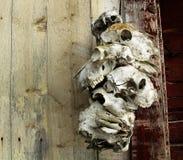 Crânios animais Fotos de Stock