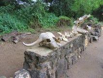 Crânios animais no parque nacional ocidental de Tsavo Fotografia de Stock Royalty Free