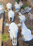 Crânios da vaca - para a venda Foto de Stock